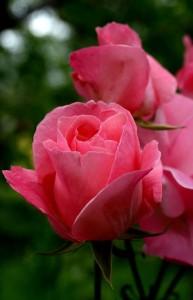 rózsa1