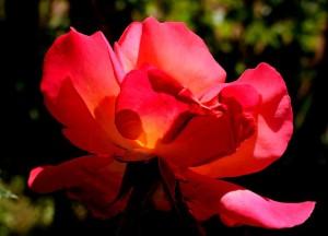 rózsa4