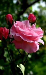 rózsa5