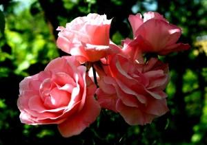 rózsa7