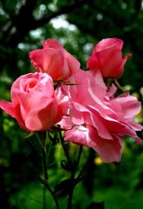 rózsa6